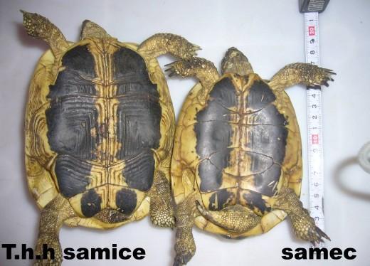 Testudo hermanni chov for Tartaruga di terra maschio o femmina